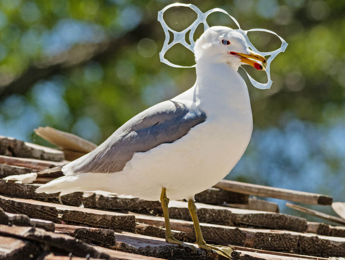 pigeon-six-pack-ring