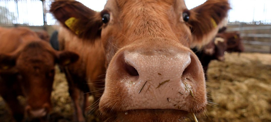 Sussex mixed cow eats in a cattle shed at a farm in south west Britain. Image: REUTERS/Toby Melville