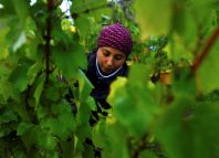 Migrant workers pick grapes at Chapel Down Winery's Kit's Coty vineyard in Aylesford, Kent (image: REUTERS/Dylan Martinez)